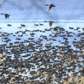Ducks feed during a migratory stopover at the Chautauqua National Wildlife Refuge. Chris Young/The State Journal-Register.