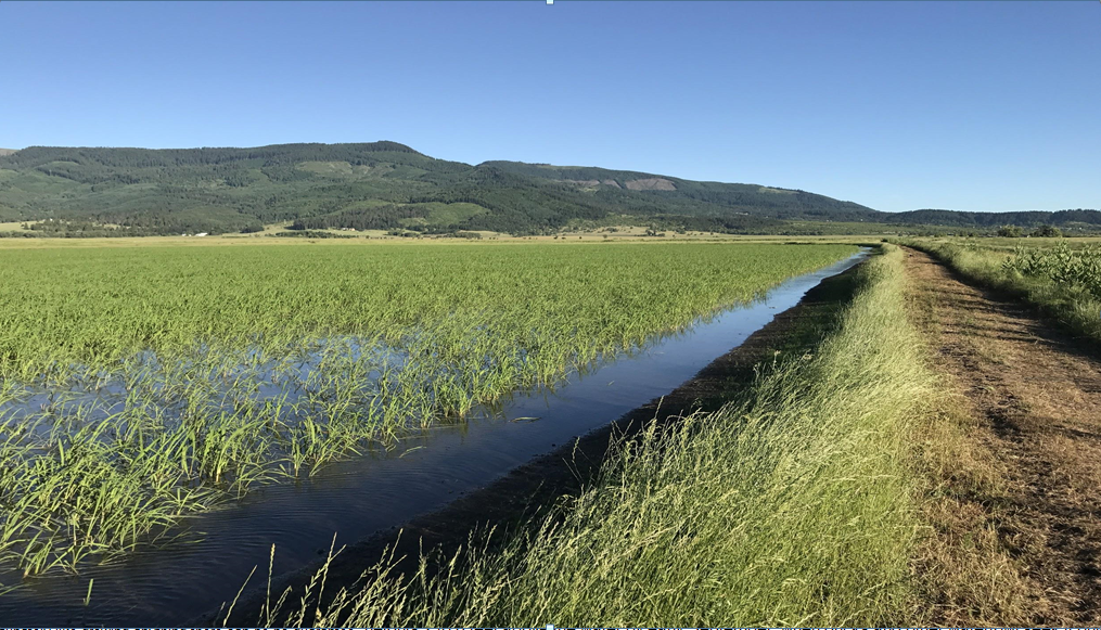 Oregon SPRING Planted Wild Rice Seed Stock